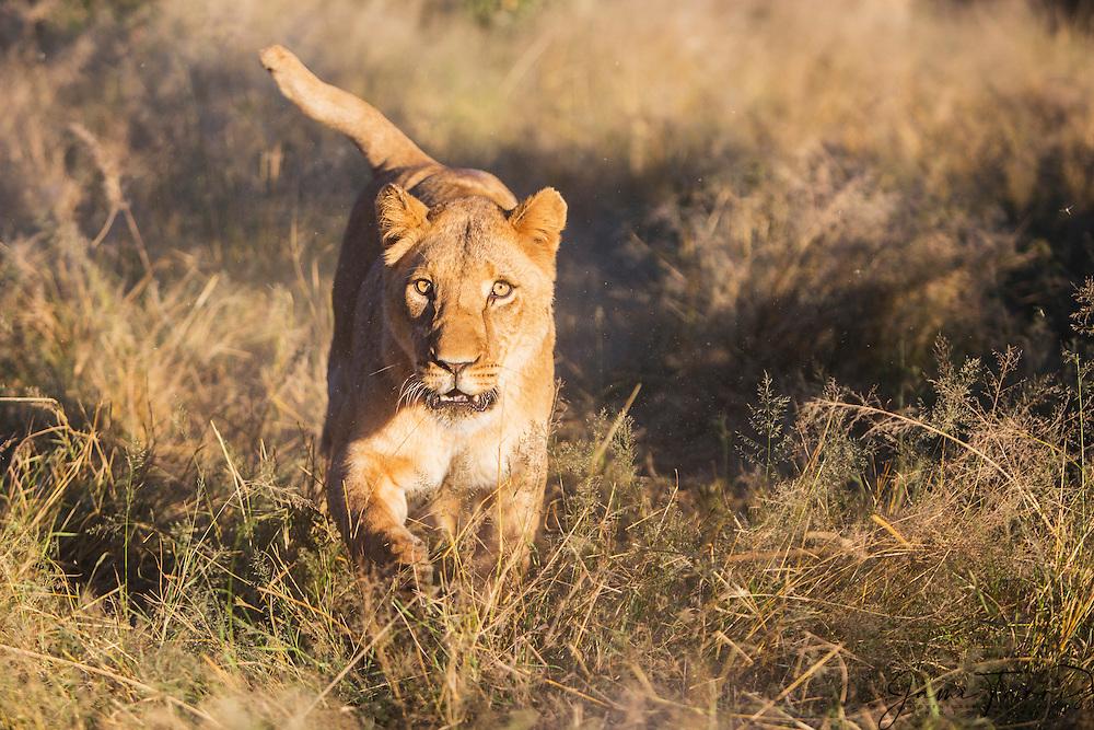 A young lioness (Panthera Leo) moving directly toward viewer giving eye contact, Kalahari Desert, Botswana, Africa
