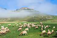 Sheep on the Piano Grande, Gret Plain, of Castelluccio di Norcia, Parco Nazionale dei Monti Sibillini ,  Apennine Mountains,  Umbria, Italy. .<br /> <br /> Visit our ITALY HISTORIC PLACES PHOTO COLLECTION for more   photos of Italy to download or buy as prints https://funkystock.photoshelter.com/gallery-collection/2b-Pictures-Images-of-Italy-Photos-of-Italian-Historic-Landmark-Sites/C0000qxA2zGFjd_k