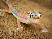 Close up of a colorful Palmetto Gecko in the Namib Desert, Namibia, Africa