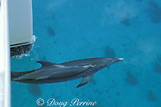 Atlantic spotted dolphin, Stenella frontalis, bowriding catamaran sailboat, Little Bahama Bank, Bahamas, Little Bahama Bank, Bahamas ( Western Atlantic Ocean )