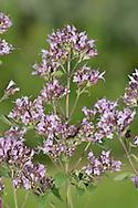 Marjoram - Origanum vulgare