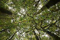 View looking straight up into the canopy of the very mossy montane rain forest of the Foja Mountains.<br />Approx. 1700 m.