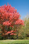 Maple tree in peak color.