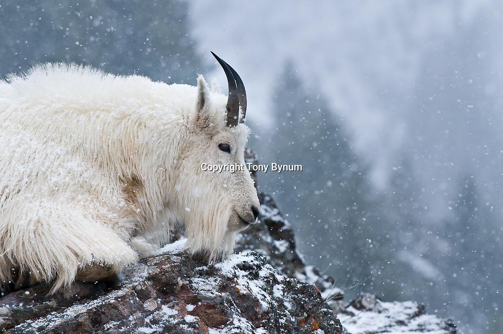 a m ountain goat looks off into the distance snowing, cold winter scene