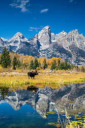 """A bull moose pauses to cast his reflection onto the reflection of the Grand Tetons in a beaver pond in Grand Teton National Park<br /> <br /> For production prints or stock photos click the Purchase Print/License Photo Button in upper Right; for Fine Art """"Custom Prints"""" contact Daryl - 208-709-3250 or dh@greater-yellowstone.com"""