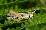Close-up of a female Meadow grasshopper (Chorthippus parallelus) stridulating on a bracken frond in an open woodland habitat in Norfolk