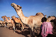 Camels for sale in the livestock market in Hargeisa, Somaliland. Livestock is the main source of income in Somaliland. Somaliland is the breakaway republic in northern Somalia that declared independence in 1991 after 50,000 died in civil war. March 1992.
