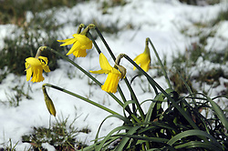 © Licensed to London News Pictures. 12/03/2013.Daffodils in Kent are knocked out for the count today (12.03.2013) as the cold weather and snow stops spring blooming. . Photo credit : Grant Falvey/LNP
