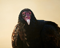 Turkey Vulture. Image taken with a Nikon D5 Camera and 600 mm f/4 VR lens.