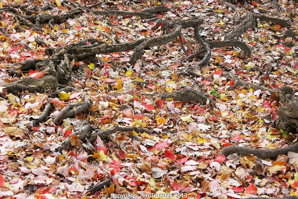 Red and yellow maple leaves on ground around tree roots