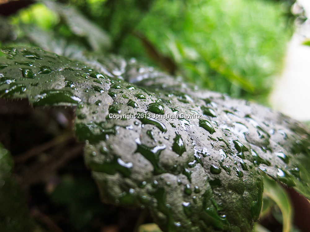 Close up view of rain drops on an ivy leaf. WATERMARKS WILL NOT APPEAR ON PRINTS OR LICENSED IMAGES.