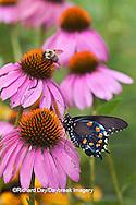 03004-01210 Pipevine Swallowtail Butterfly (Battus philenor) male on Purple Coneflower (Echinacea purpurea) Marion Co., IL