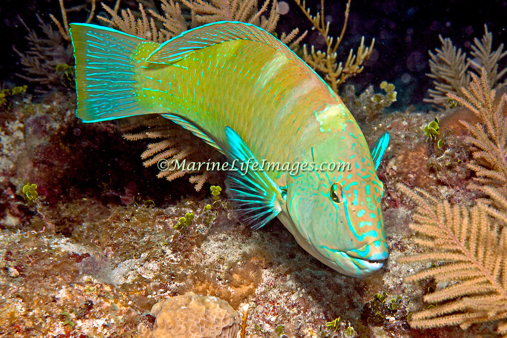 Puddingwife swim in open water just above reef in Tropical West Atlantic; picture taken Belize.