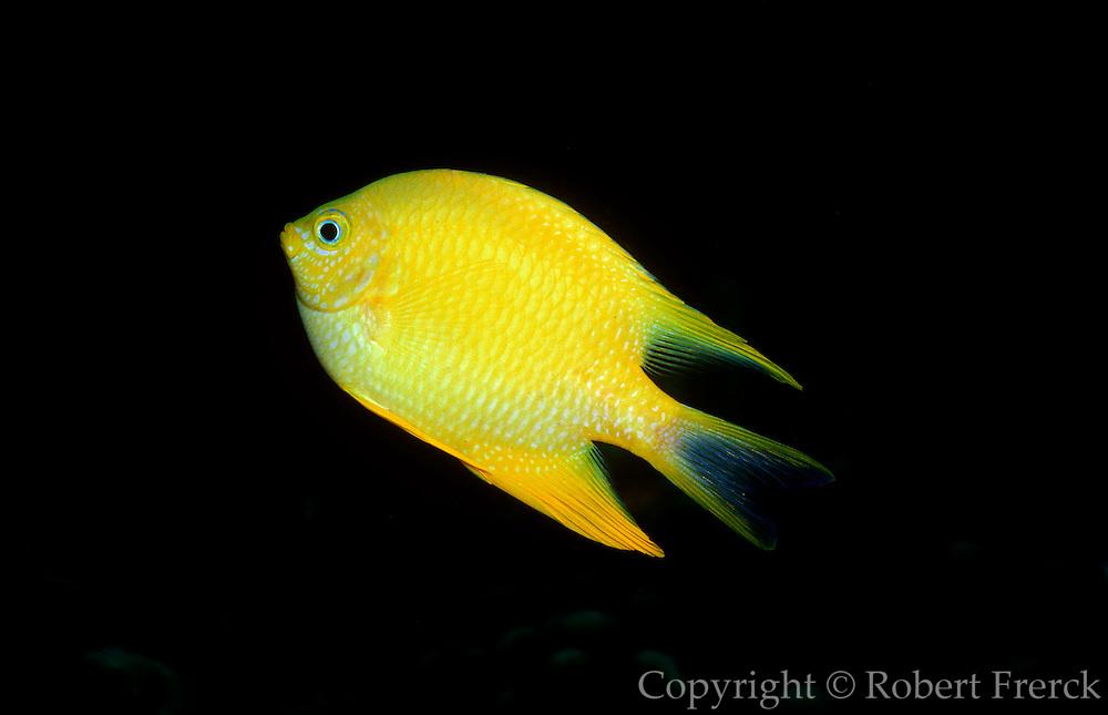 UNDERWATER MARINE LIFE WEST PACIFIC, generic FISH: Yellow Damselfish Amblyglyphidodon aureus