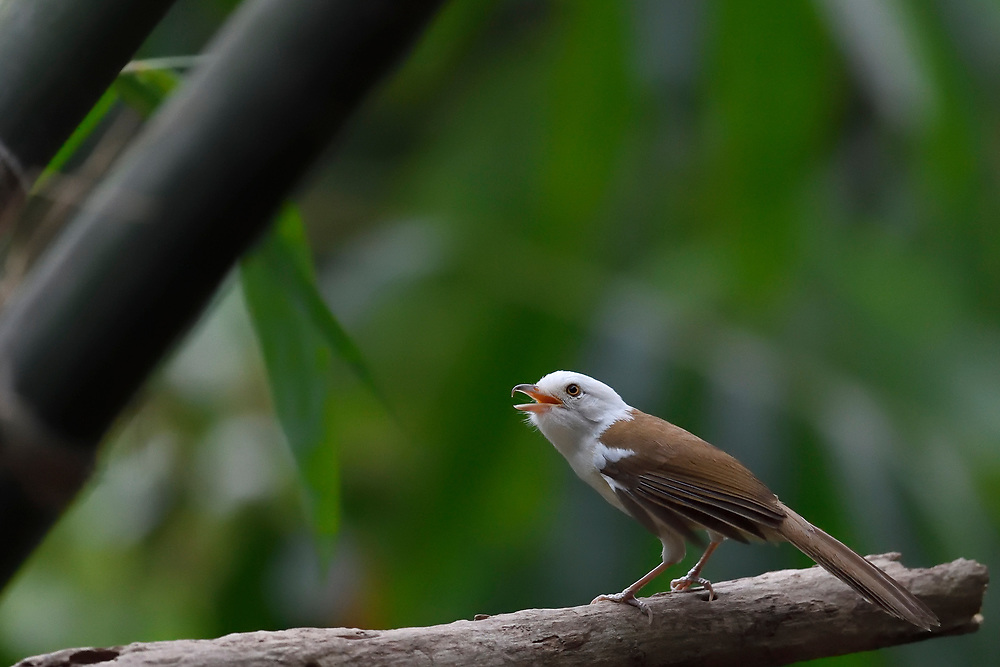 White-hooded Babbler, Gampsorhynchus rufulus, singing while sitting on a branch in Hong Bung He, Dehong, Yunnan, China