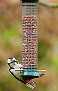Great Spotted Woodpecker on a birdfeeder pecking at peanuts, Cotswolds, England