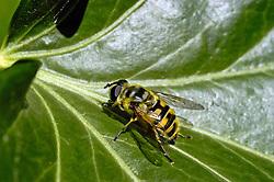 Doodskopzweefvlieg, Myathropa florea