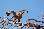 Steppe Eagle (Aquila nipalensis) perched on a dry tree in the negev desert, israel.  This eagle is found from Romania, through the steppes and into Mongolia. It feeds mainly on carrion, but will also kill small rodents. It has a wingspan of nearly two metres.