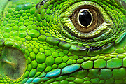 "The green iguana (Iguana iguana) has parietal eye, or ""third eye"", that allows it to detect incoming attacks by flying predators such as hawks and eagles. This parietal eye is located above the centre of its head and appears as a semi-translucent scale in the adult stage. The ""third eye"" is not able to make sharp or defined images but it is able to collect the shadows of flying predators as they get within close distance. Green Iguana Conservation Project , San Ignacio, Belize."