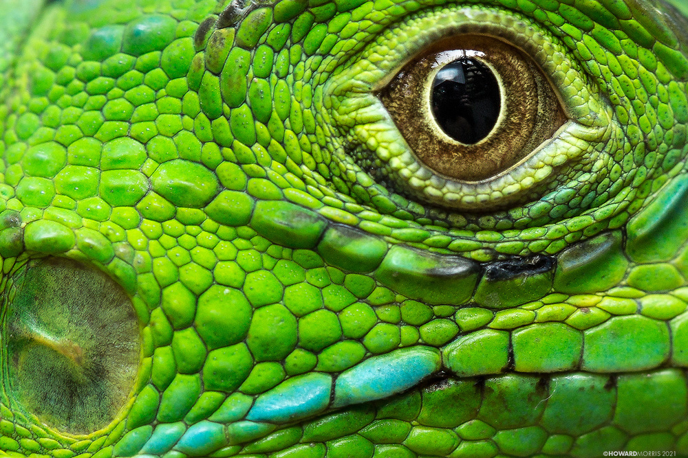 """The green iguana (Iguana iguana) has parietal eye, or """"third eye"""", that allows it to detect incoming attacks by flying predators such as hawks and eagles. This parietal eye is located above the centre of its head and appears as a semi-translucent scale in the adult stage. The """"third eye"""" is not able to make sharp or defined images but it is able to collect the shadows of flying predators as they get within close distance. Green Iguana Conservation Project , San Ignacio, Belize."""