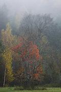 Maple in fog | Gauja National Park