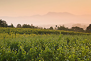 Mt. St. Helena above the Sebastopol Hills wine region, from Chasseur Wine's Ray Hill Vineyard in western Sonoma County.