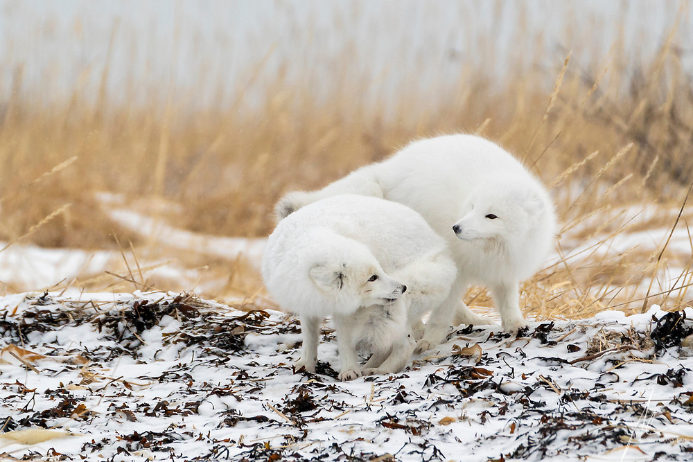 A pair of Arctic Fox gazed at each other.
