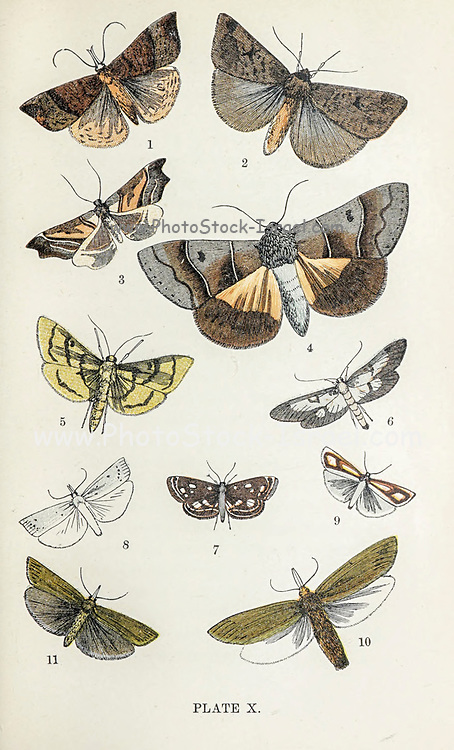 Plate X 1. Snout. 2. Black-Neck. 3. Beautiful Hook-Tip. 4. Beautiful Double Stripe. 5. Mother of Pearl. 6. Long-Winged Pearl. 7. Garden China Mark. 8. Streaked Veneer. 9. Pearl Veneer. 10. Gigantic Veneer. 11. Common Veneer. from the book ' The common moths of England ' by Wood, J. G. (John George), 1827-1889 Publication date 1878 in London : by G. Routledge and Sons