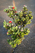 Lehua plant in the Kilauea Iki caldera, Hawaii Volcanoes National Park, Hawaii USA