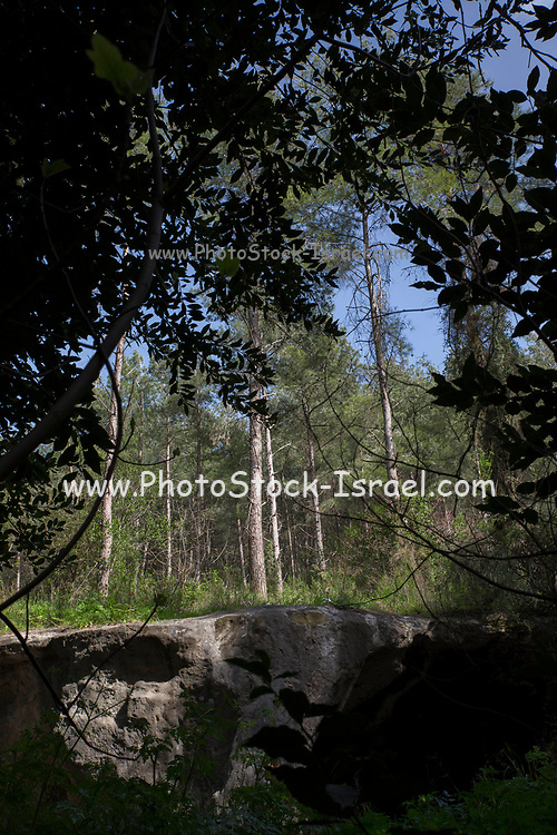 Cypress trees at Ein Hashofet forest, Israel