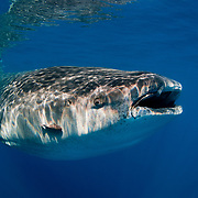 Portrait of a whale shark (Rhincodon typus) in Mexico.