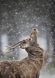 © Licensed to London News Pictures. 24/01/2021. London, UK. A deer looks up as snow begins to fall in Bushy Park, south west London. A band of snow is crossing the south east this morning as temperature remain just above freezing. Photo credit: Peter Macdiarmid/LNP