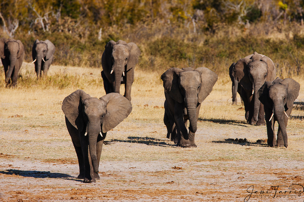A herd of African elephants (Loxodonta africana) quickly walking down to drink at a water hole at sunset, Hwange National Park, Zimbabwe,Africa