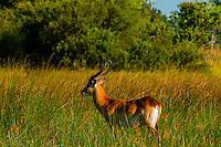 Red lechwe (antelope), near Kwara Camp, Okavango Delta, Botswana.