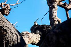 6\02\2011 Un pavone appollaiato su di un albero..In Puglia, ancora oggi, persistono realtà autentiche e genuine: flora e fauna sono gli ingredienti base delle masserie che con i loro muretti a secco costellano il territorio del tacco d' Italia. Qui l'allevamento è una delle attività principali, ieri come oggi, che il massaro porta avanti quotidianamente con pazienza e devozione. La masseria delle Murge è abitata da equini, bovini, ovini ecc. che sono il motore della produzione alimentare come per esempio la tipica mozzarella. Entriamo quindi in un'atmosfera bucolica che ci fa respirare odori, gustare sapori e ammirare colori che identificano il territorio. Buon viaggio dei sensi..