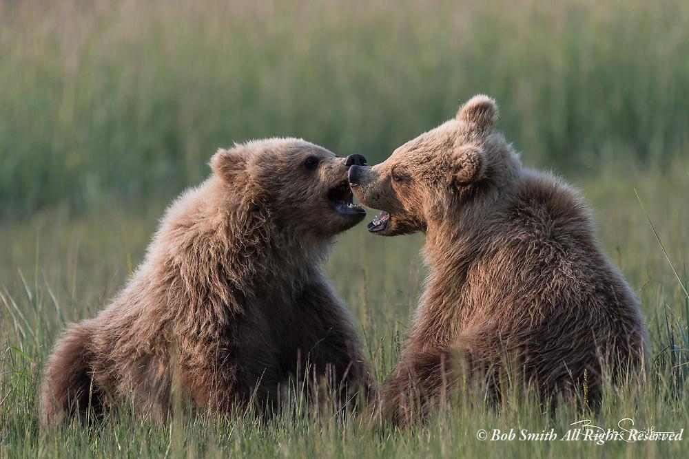 Brown bears at Silver Salmon Creek Lodge, Lake Clark National Park, Alaska,