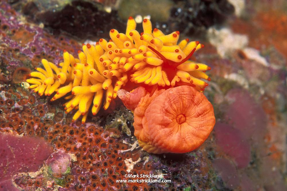 This Golden Phestilla nudibranch, Phestilla melanobrachia, mimics the stinging tentacles of its prey, Orange Cup Coral, Tubastrea faulkneri. Richelieu Rock, Thailand, Andaman Sea