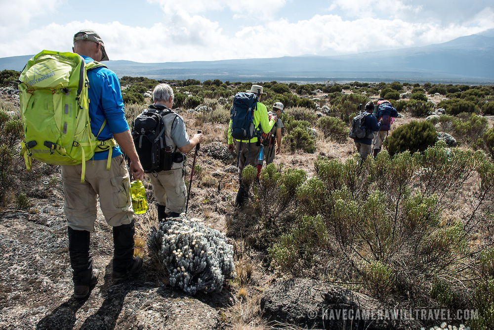 Hikers in the heath zone between Shira 1 Camp and Moir Hut Camp on the Lemosho Trail of Mt Kilimanjaro.