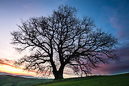 Oak Tree at Sunrise in val d'orcia