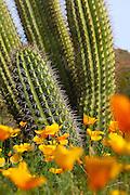 California Poppies And Cactus