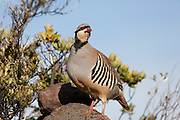 A chukar (Alectoris chukar) looks out from a rocky outpost high on Haleakala on the Hawaiian island of Maui. The chukar is a type of partridge that was introduced to the Hawaiian islands and prefers dry, rocky conditions.