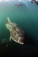 Mission: Basking Sharks<br /> Location: Scotland, off the Island of Mull (Coll and Tiree Islands area) - June 2009<br /> Basking Shark (Cetorhinus maximus); in the area of the Island of Mull; Scotland. June <br /> 2009.<br /> Model release form nº 1