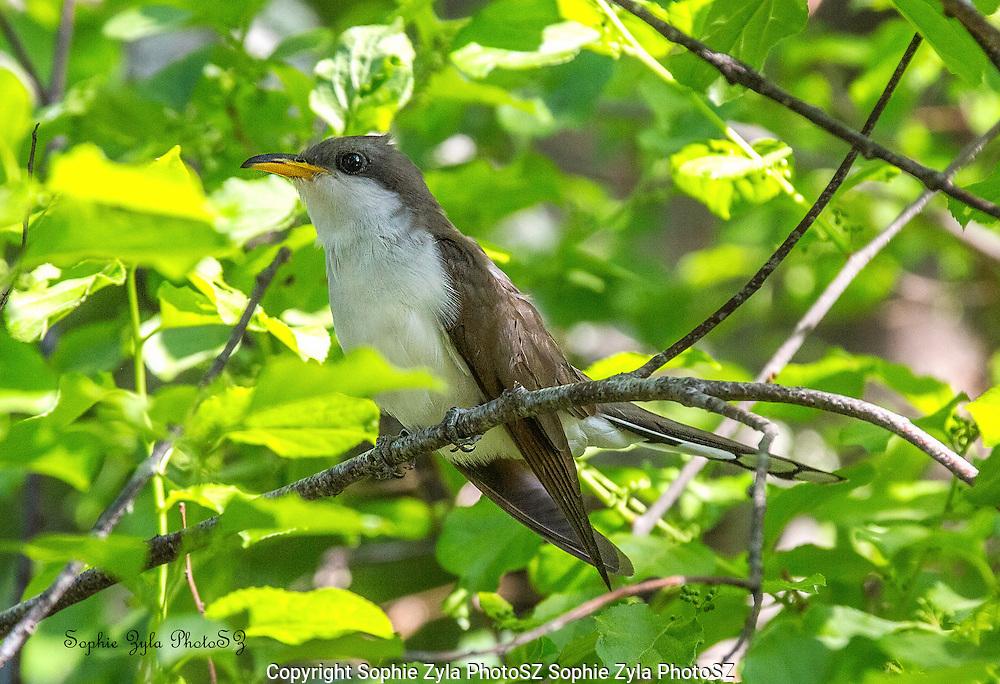 Yellow-billed Cuckoo at Manomet