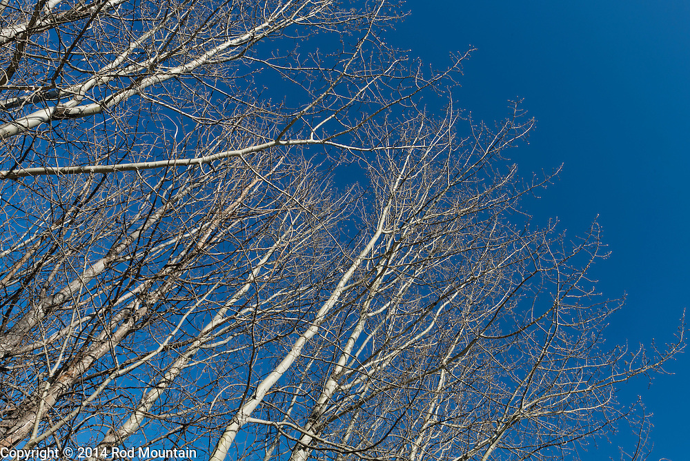 Barren trees stand against the blue sky in the Okanagan.