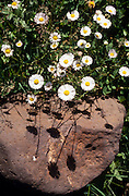 Shadows of Spreading fleabane (Erigeron divergens) on rock, White Mountains, Arizona..Media Usage:.Subject photograph(s) are copyrighted Edward McCain. All rights are reserved except those specifically granted by McCain Photography in writing...McCain Photography.211 S 4th Avenue.Tucson, AZ 85701-2103.(520) 623-1998.mobile: (520) 990-0999.fax: (520) 623-1190.http://www.mccainphoto.com.edward@mccainphoto.com.