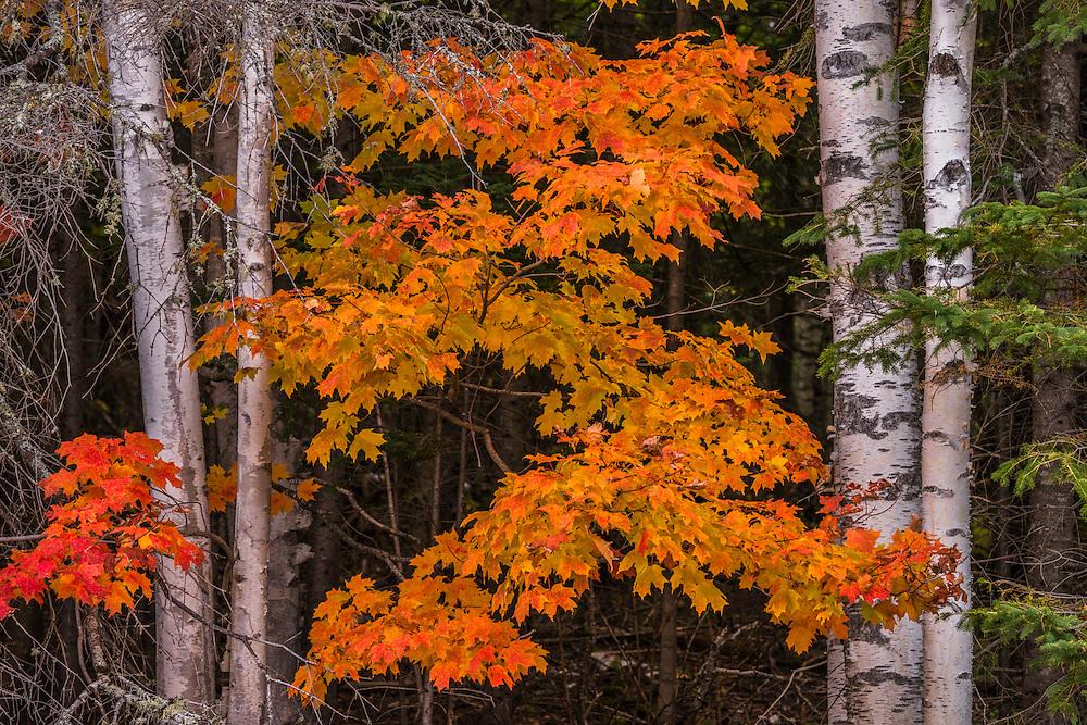 Orange leaves of sugar maple in fall between white birch tree trunks, Rangeley, ME
