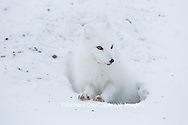 01863-01708 Arctic Fox (Alopex lagopus) at food cache, Cape Churchill, Wapusk National Park, Churchill, MB Canada