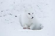 01863-01708 Arctic Fox (Alopex lagopus) at food cache, Cape Churchill, Wapusk National Park, Churchill, MB Canada
