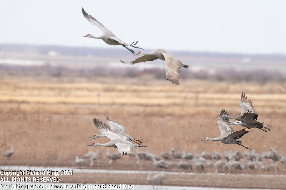 Photograph of Sandhill Cranes at Whitewater Draw Wildlife Area AZ
