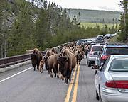 Buffalo traffic jam at Yellowstone National Park, Wyoming